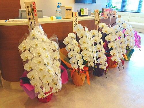 開院祝い花胡蝶蘭